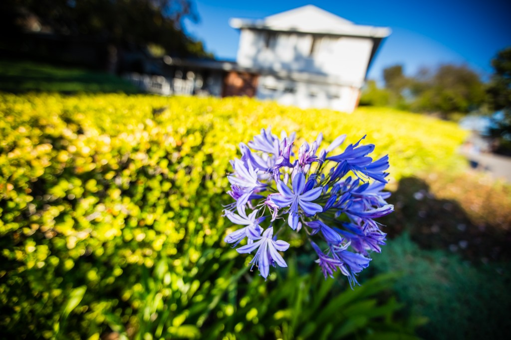 agapanthus in front yard