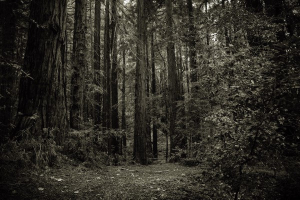 redwood | photograph by Brian J. Matis