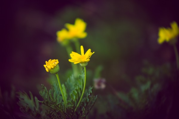 yellow flowers | photograph by Brian J. Matis