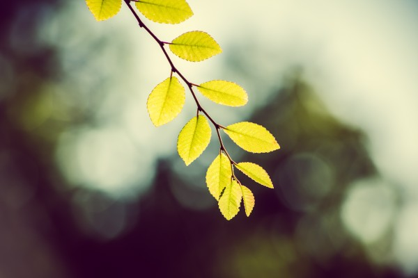 backlit leaves on branch   photograph by Brian J. Matis