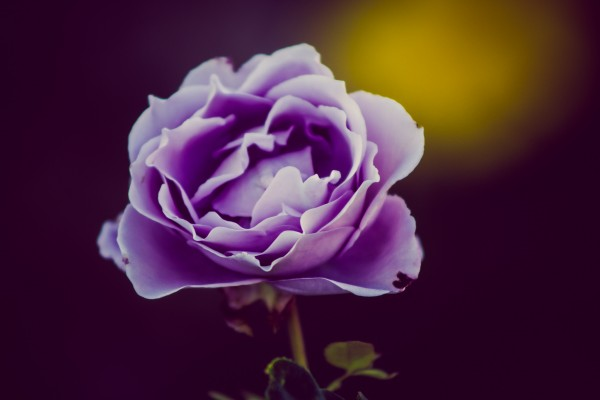 purple rose   photograph by Brian J. Matis
