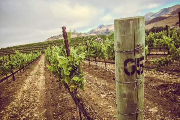 vineyard | photograph by Brian J. Matis