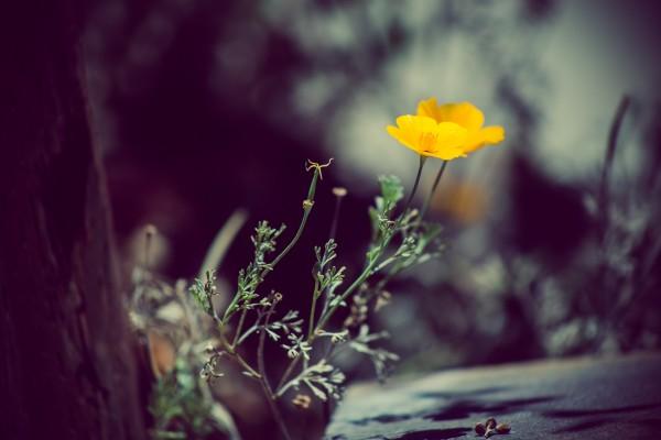 California poppy | photograph by Brian J. Matis